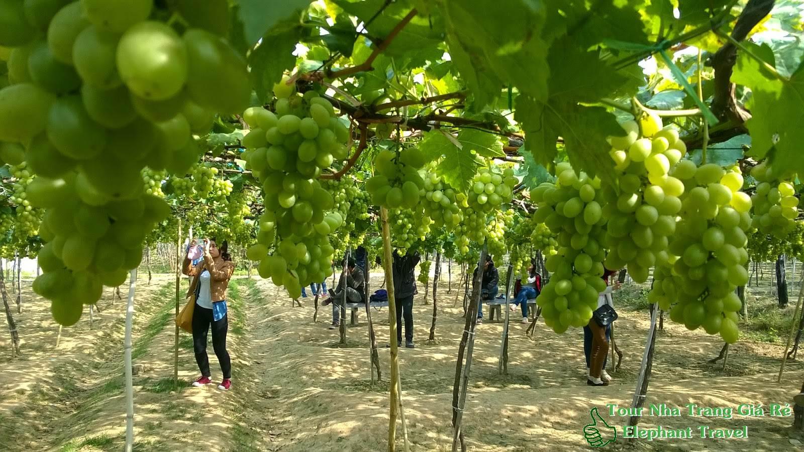 Vườn nho Ba Mọi Ninh Thuận